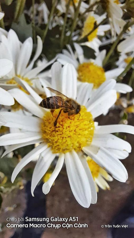 Фотография пчелы на цветке,  Samsung Galaxy A51