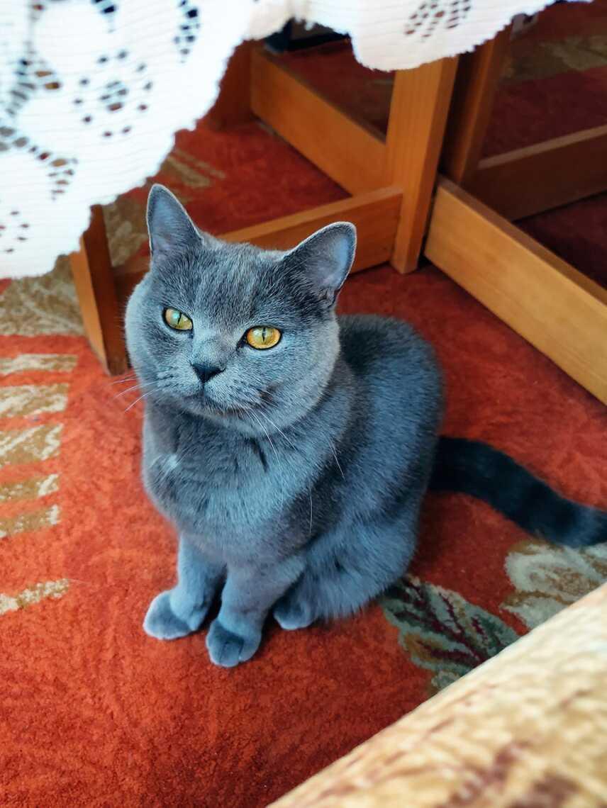 Фотография породистой кошки с золотыми глазами, фон для смартфона в высоком разрешении