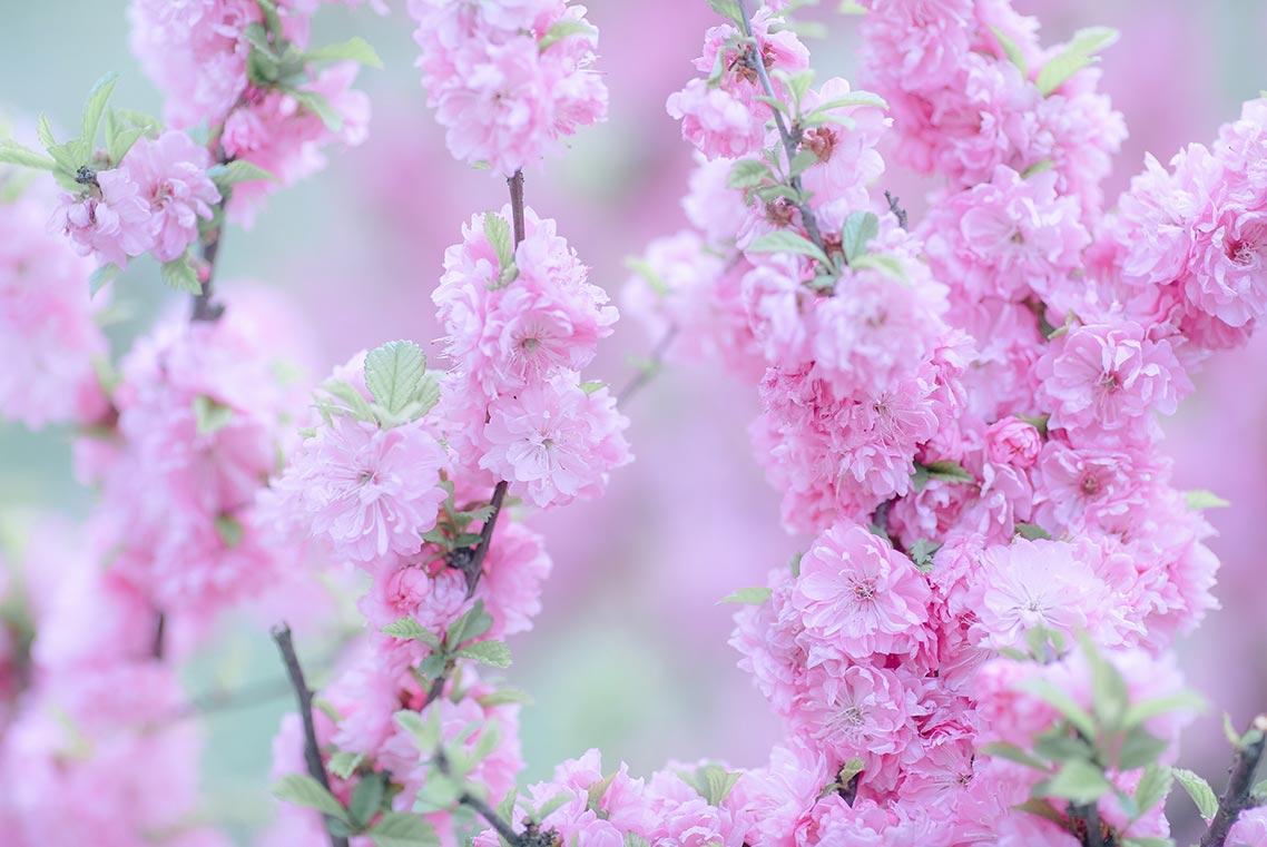 Бесплатные стоковые фото тематики нежный розовый цвет и цветущая вишня (фотограф Олег Мороз, Tengyart)