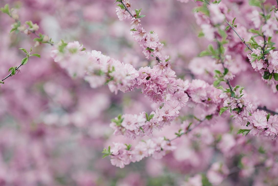 Купить стили Capture One 20 для обработки фотосессий в цветущих садах (пример пресета Spring Colors 2 и картинки с цветущей вишней)