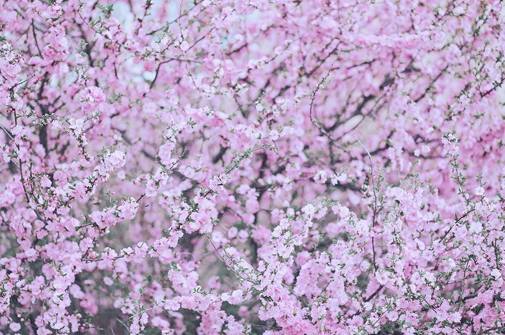 Стили Capture One для цветочных фотосессий в ретро обработке (под плёнку) - пример фона с цветущей вишней, созданного при помощи пресета Flowers Standart от Tengyart