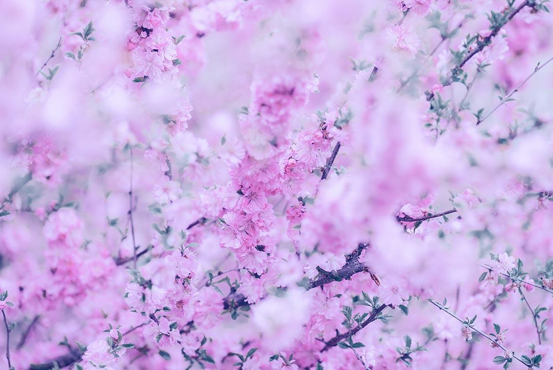 декоративная цветущая вишня (красивые цветы на заставку смартфона), стоковые фото с цветущим садом для скачивания