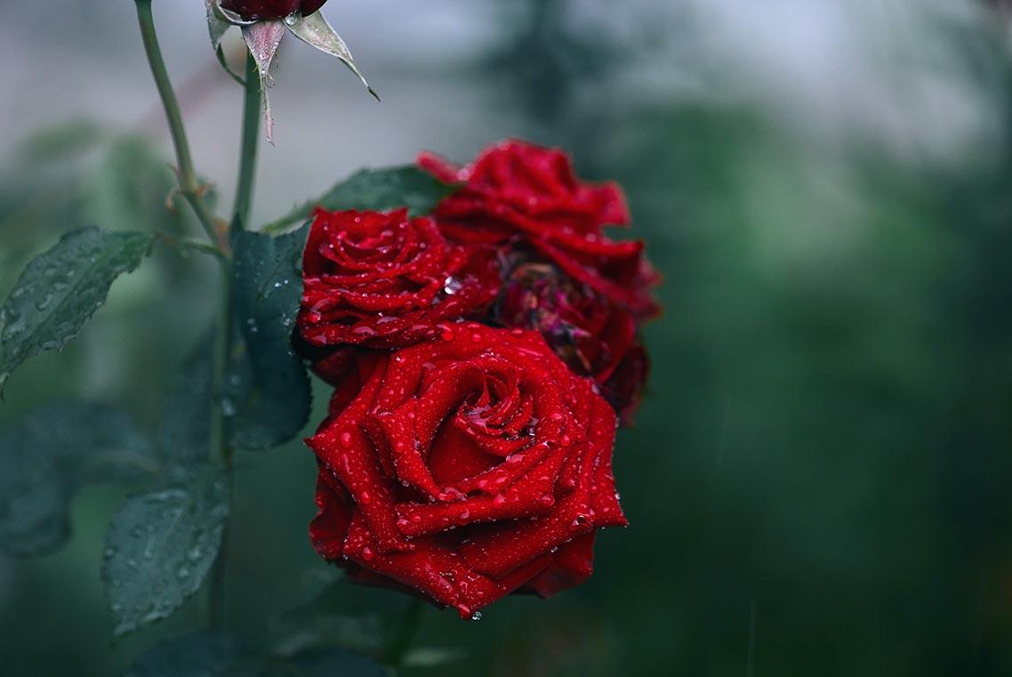 Бесплатный фон с алыми розами и каплями влаги на лепестках, заставка для рабочего стола в высоком разрешении