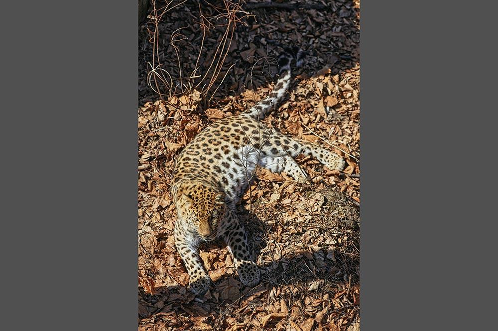 Стоковое фото дальневосточного леопарда купить онлайн