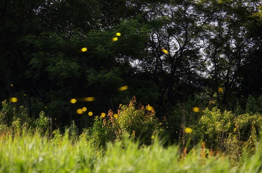 Середина сезона полёта светлячков 2020 год (фото со светлячками на заставку смартфона)