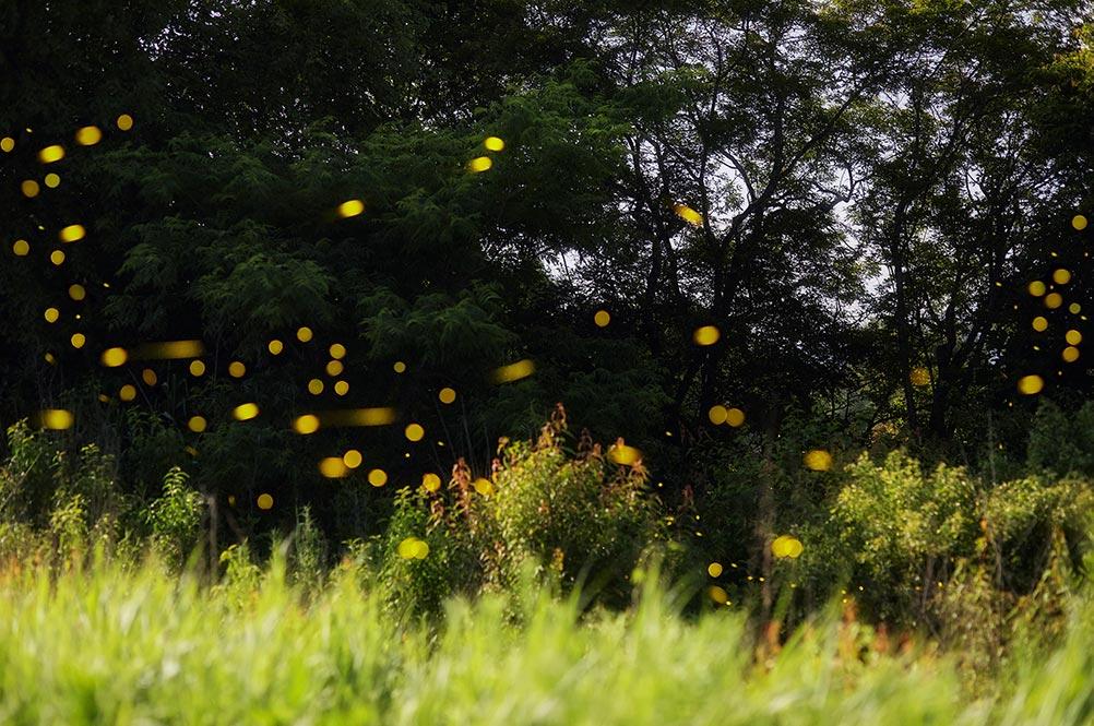Стоковое фото с полётом светлячков в ночном лесу (крутые обои на телефон)