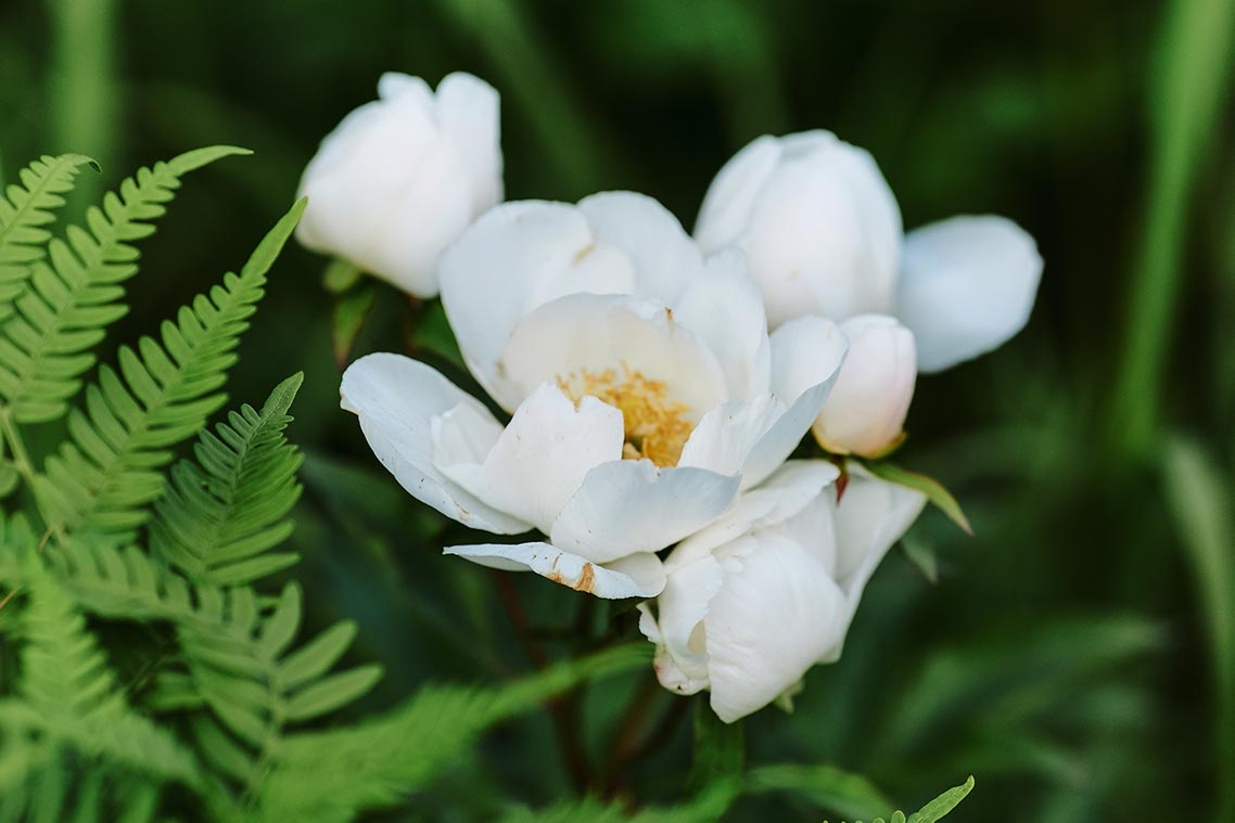 фотография белых цветущих пионов | минусы продажи фото на Boosty