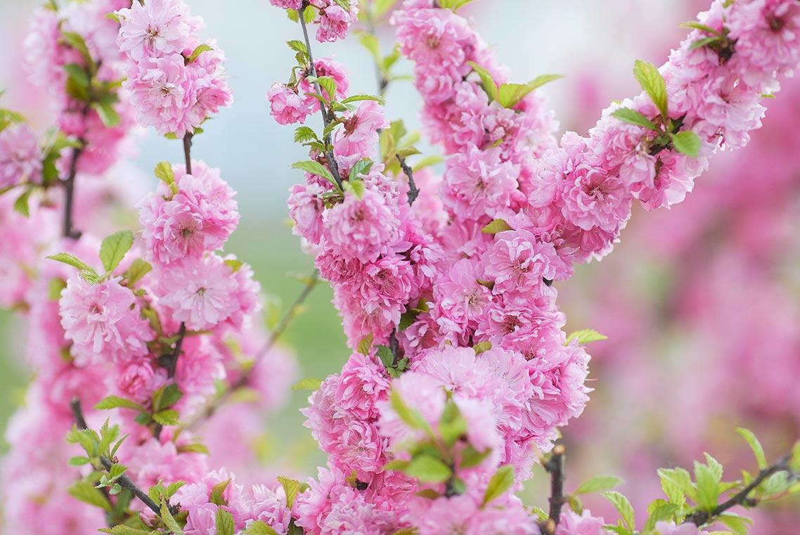 Розовые цветы для сайта и ПК в SD разрешении