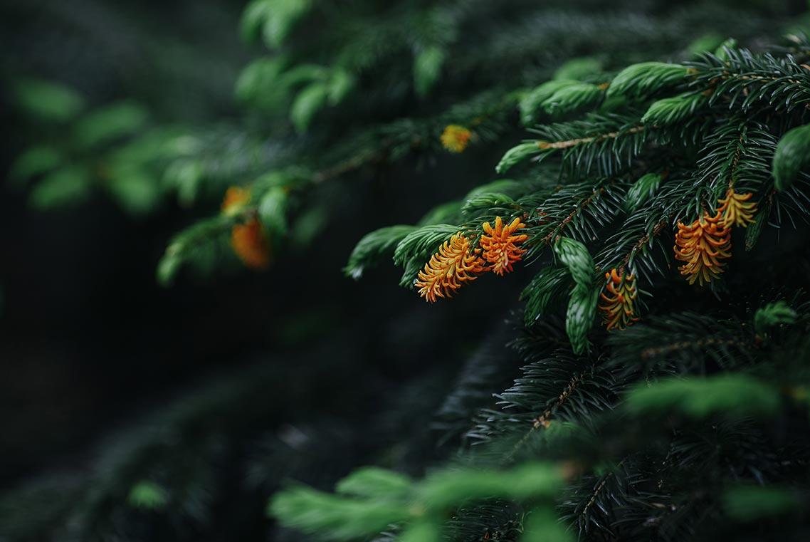 Цветущая ель на вершине горы Макарихи