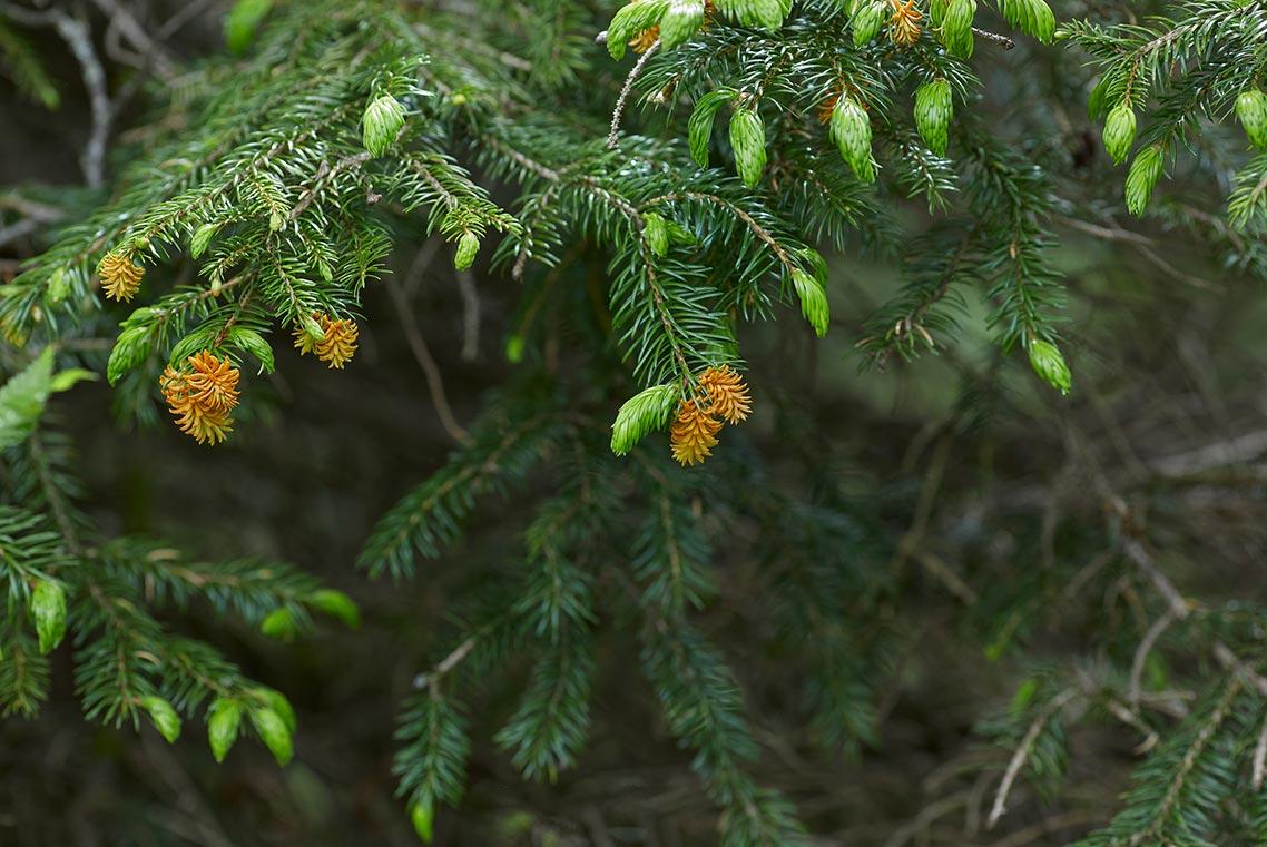 Ветви цветущей ели - достопримечательность на г. Макарихе в Приморском крае