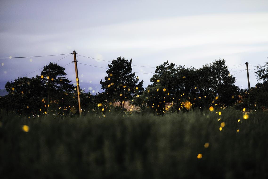 Лес светлячков в Золотой Долине (Приморье)