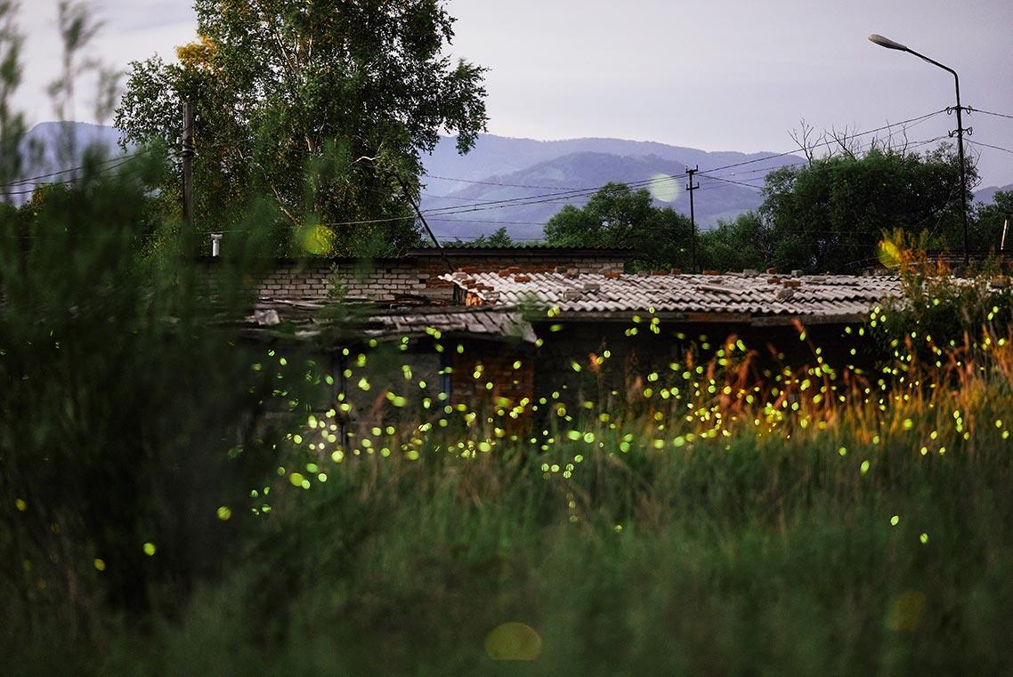 Сезон светлячков в Приморье,  2021 год